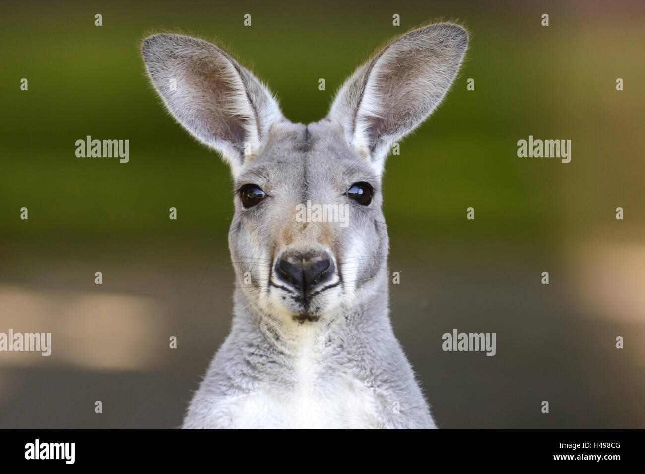 Kangourou rouge, portrait, Photo Stock
