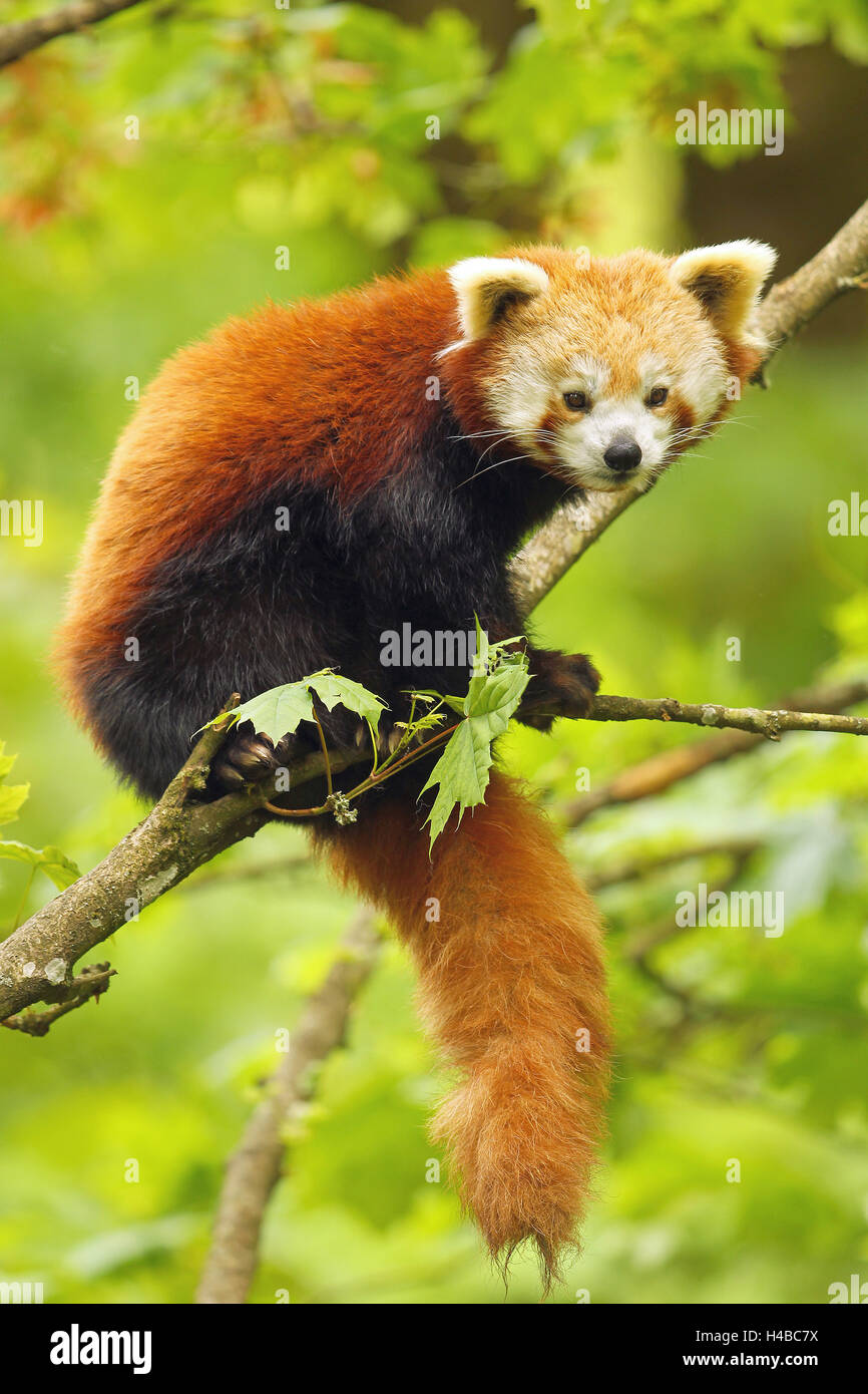 Le panda rouge (Ailurus fulgens) assis dans l'arbre, captive Photo Stock