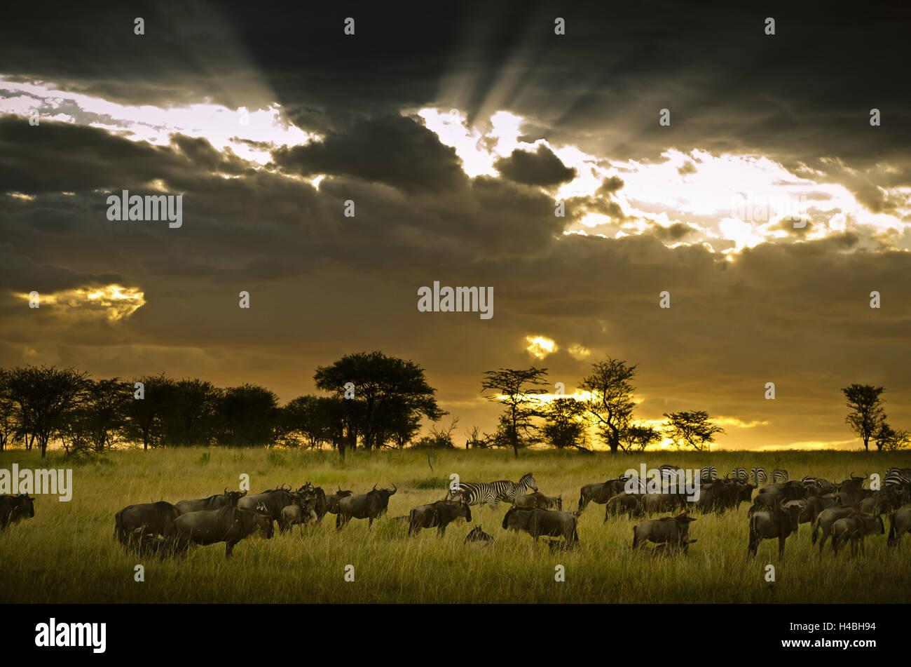 L'Afrique, Afrique de l'Est, la Tanzanie, le Serengeti, monde animal, gnous, zèbres, Photo Stock