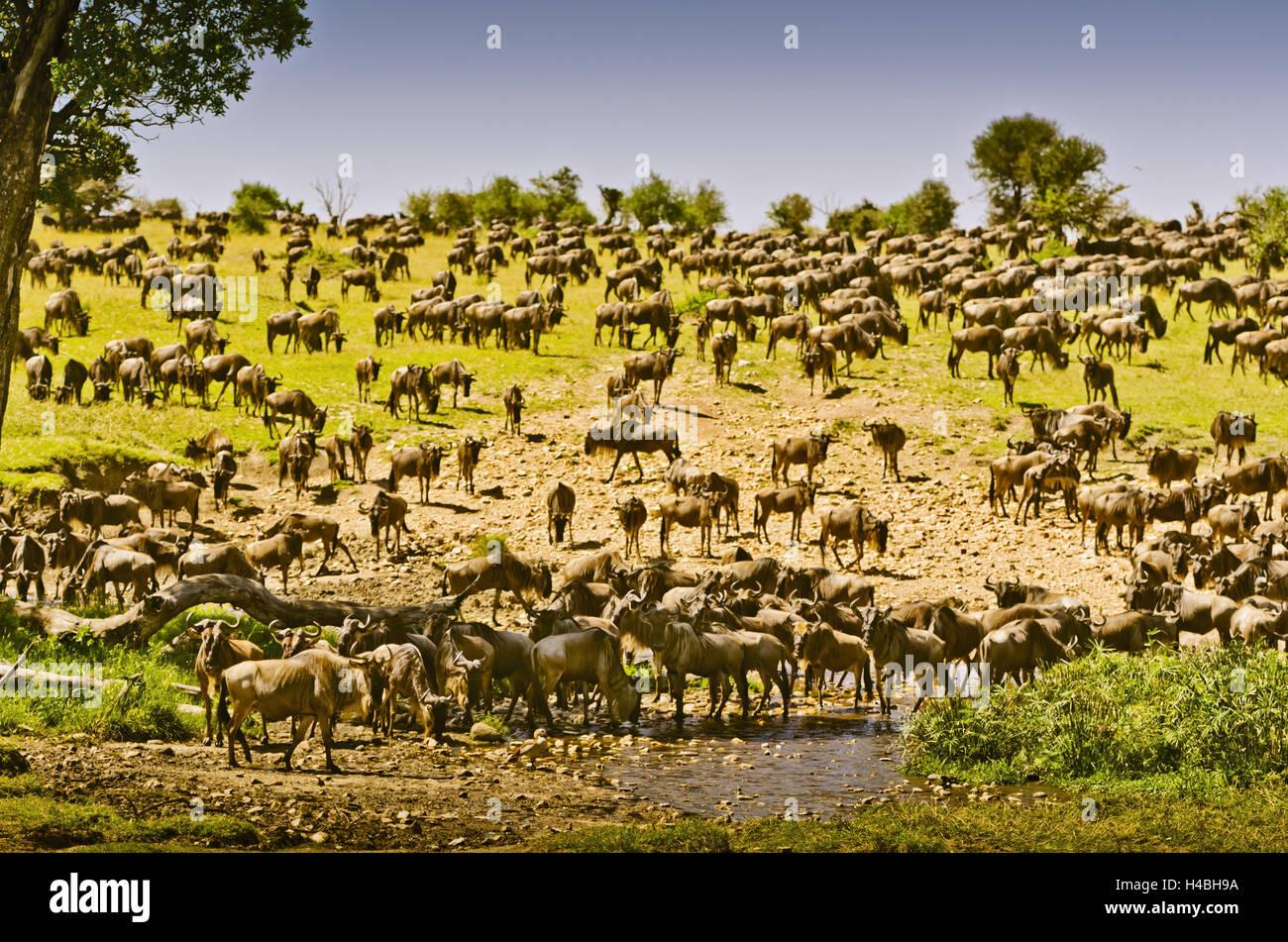 L'Afrique, Afrique de l'Est, la Tanzanie, le Serengeti, la faune, les gnous, Photo Stock
