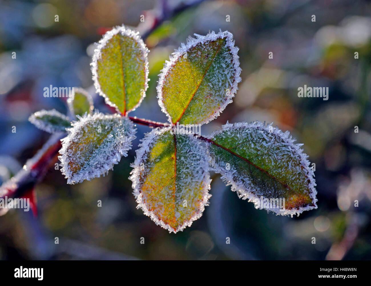 Feuillage Rose du rosier grimpant sympathie roses dans le jardin, l'arrivée de l'hiver, le givre Photo Stock