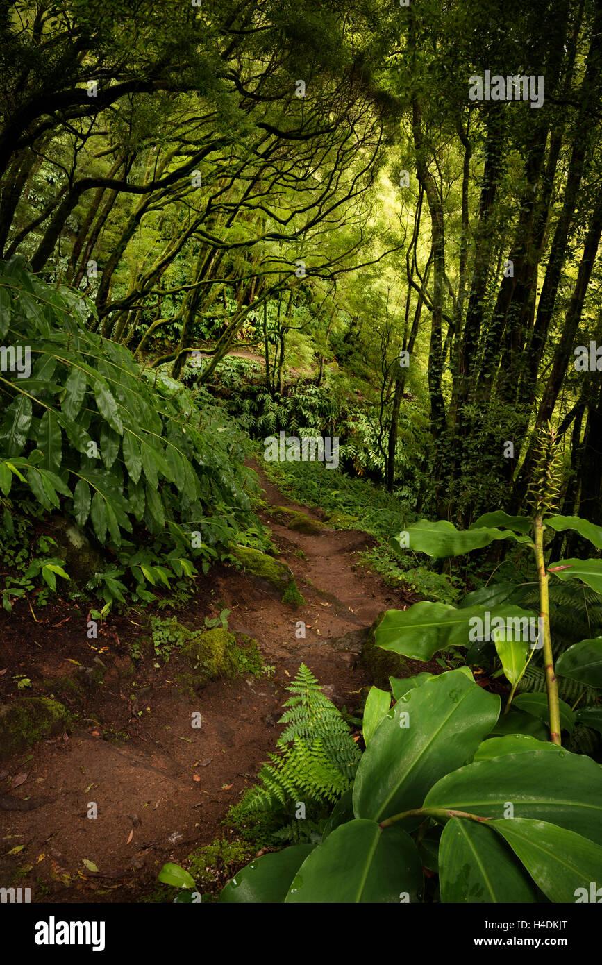 Chemin à travers la jungle sur Sao Miguel, Açores, Portugal Photo Stock