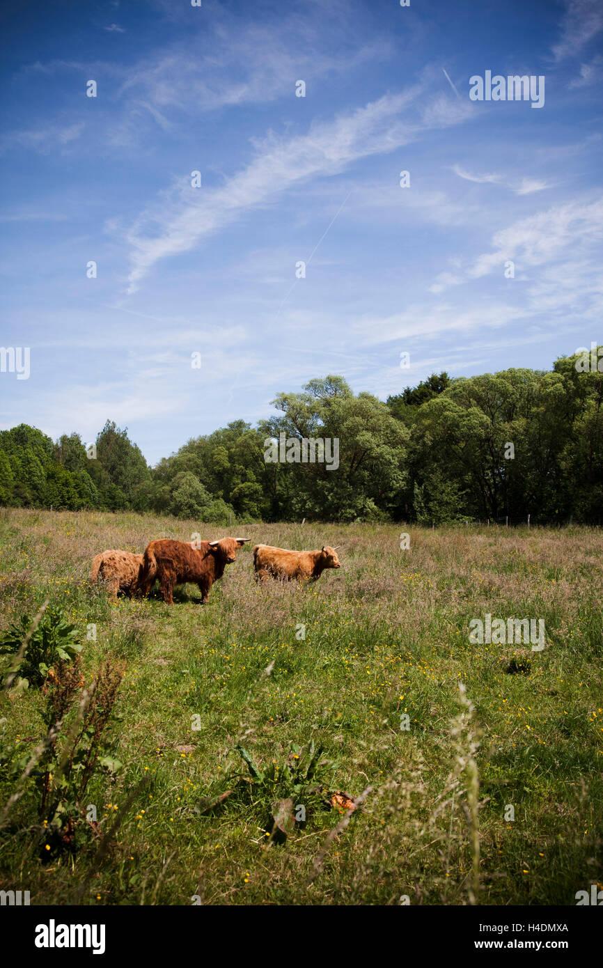 Les pâturages, les bêtes robustes, Photo Stock
