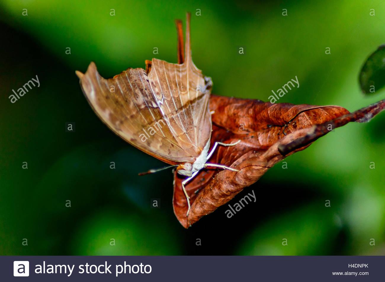 - Floridalis Leafwing Anaea Photo Stock