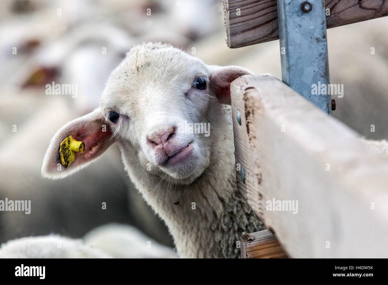 Tête de mouton dans la grange, République Tchèque Photo Stock