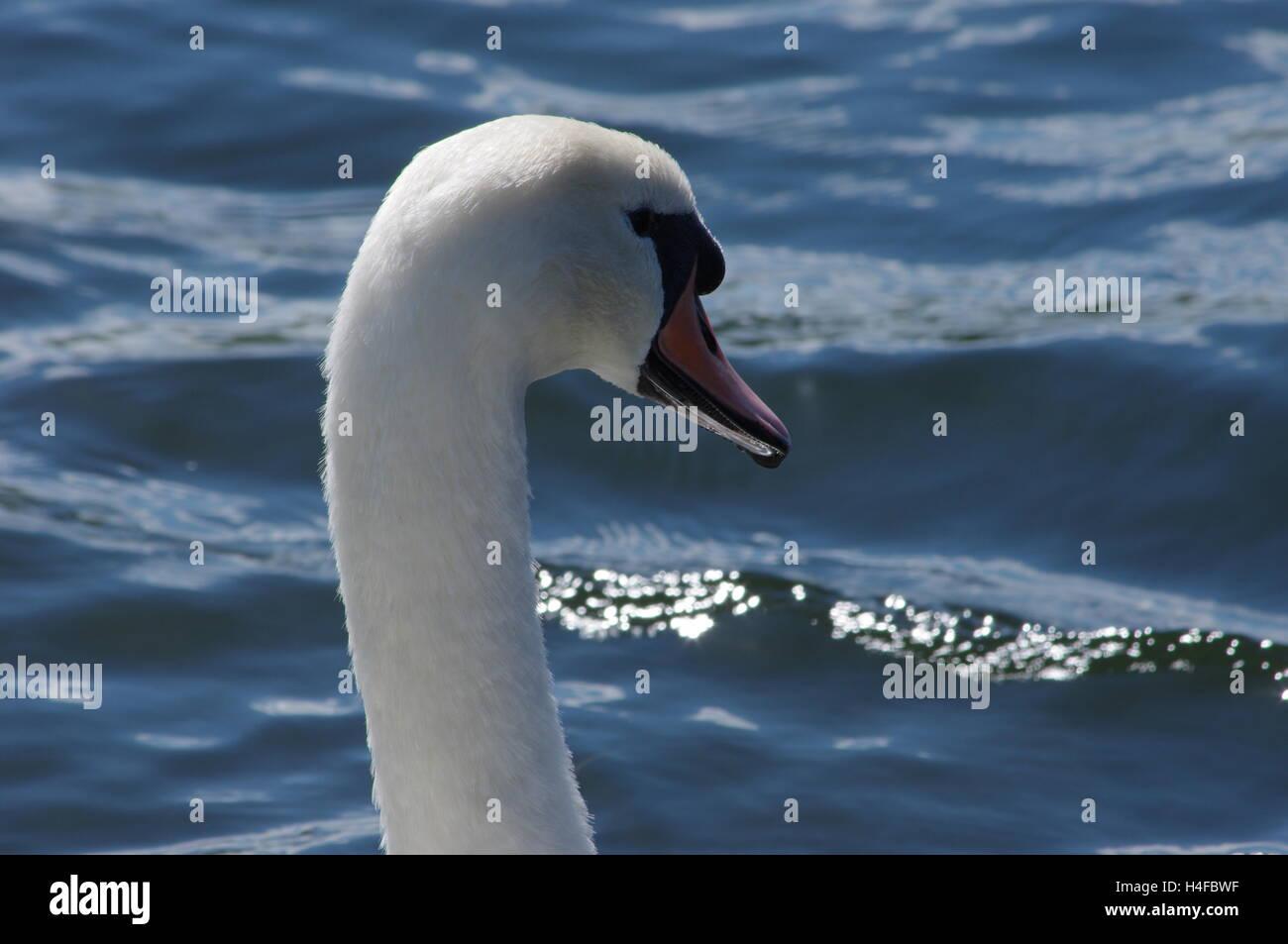 Gros plan de la tête d'un cygne sur fond bleu profond de l'eau pris en plein soleil. Photo Stock