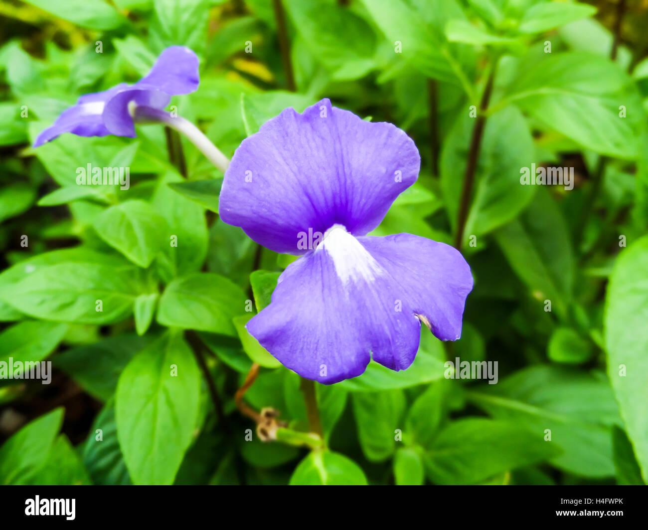 Otacanthus Caeruleus Le Nom De Violet Fleur Blanche Thailande