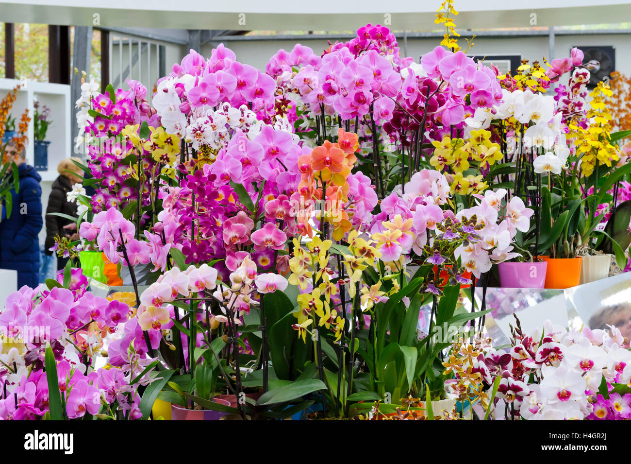 Plantes d\'orchidées fraîches sur l\'affichage dans une serre ...