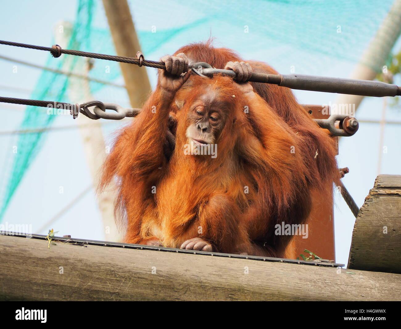 Orang-outan mère s'occupe de son bébé dans la faune réserver Photo Stock