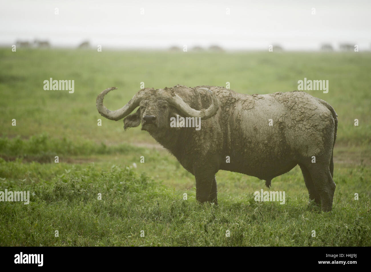 Buffalo bull (Syncerus caffer caffer), le cratère du Ngorongoro, en Tanzanie Banque D'Images