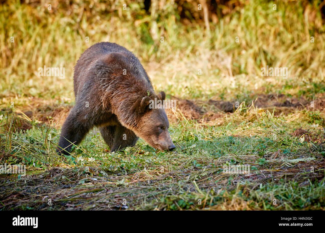 Ours brun, Ursus arctos horribilis, Great Bear Rainforest, Knight Inlet, le détroit de Johnstone, British Columbia, Canada Banque D'Images