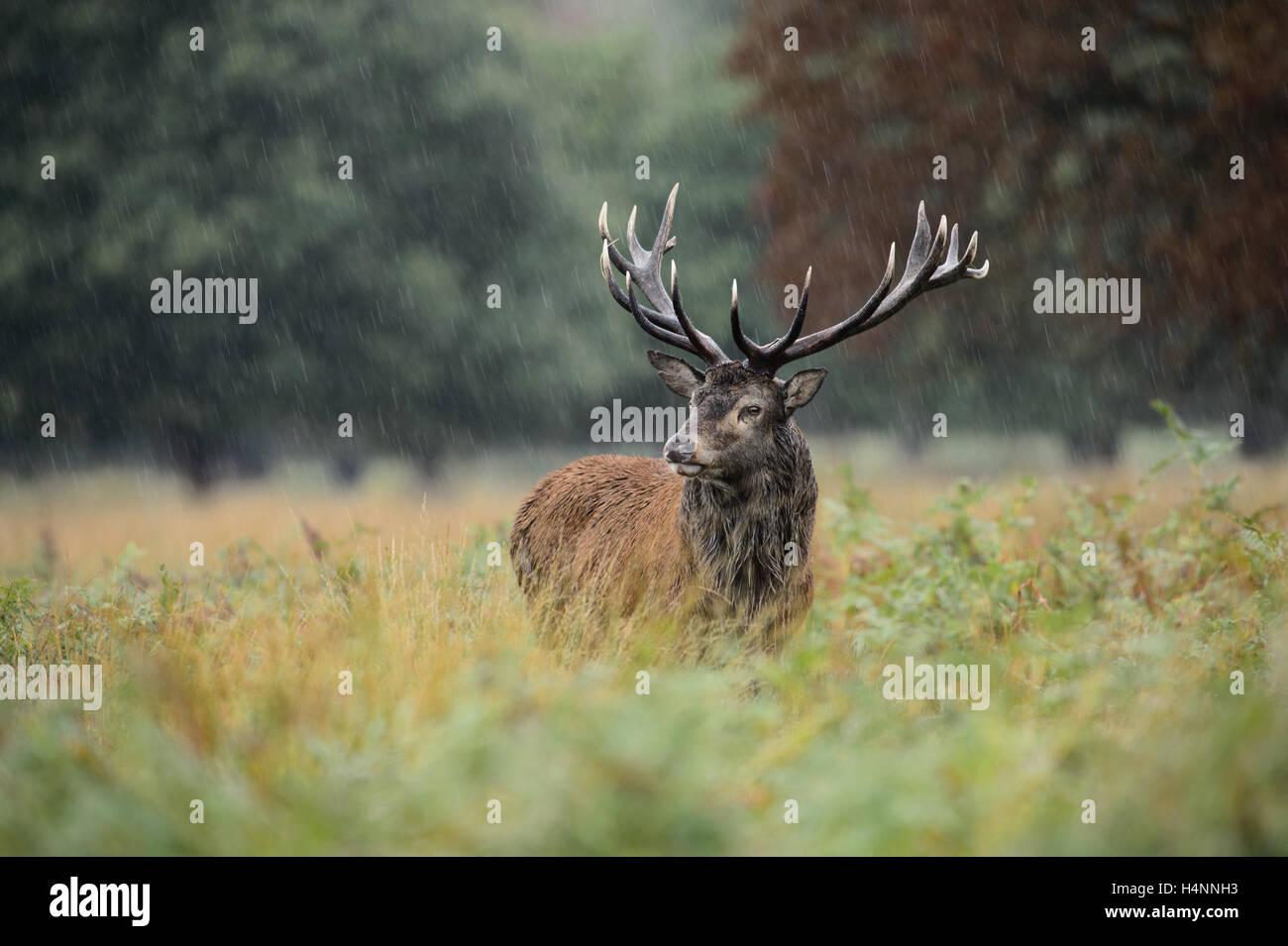 Red Deer stag sous la pluie pendant la saison du rut. Richmond Park, London, UK Photo Stock