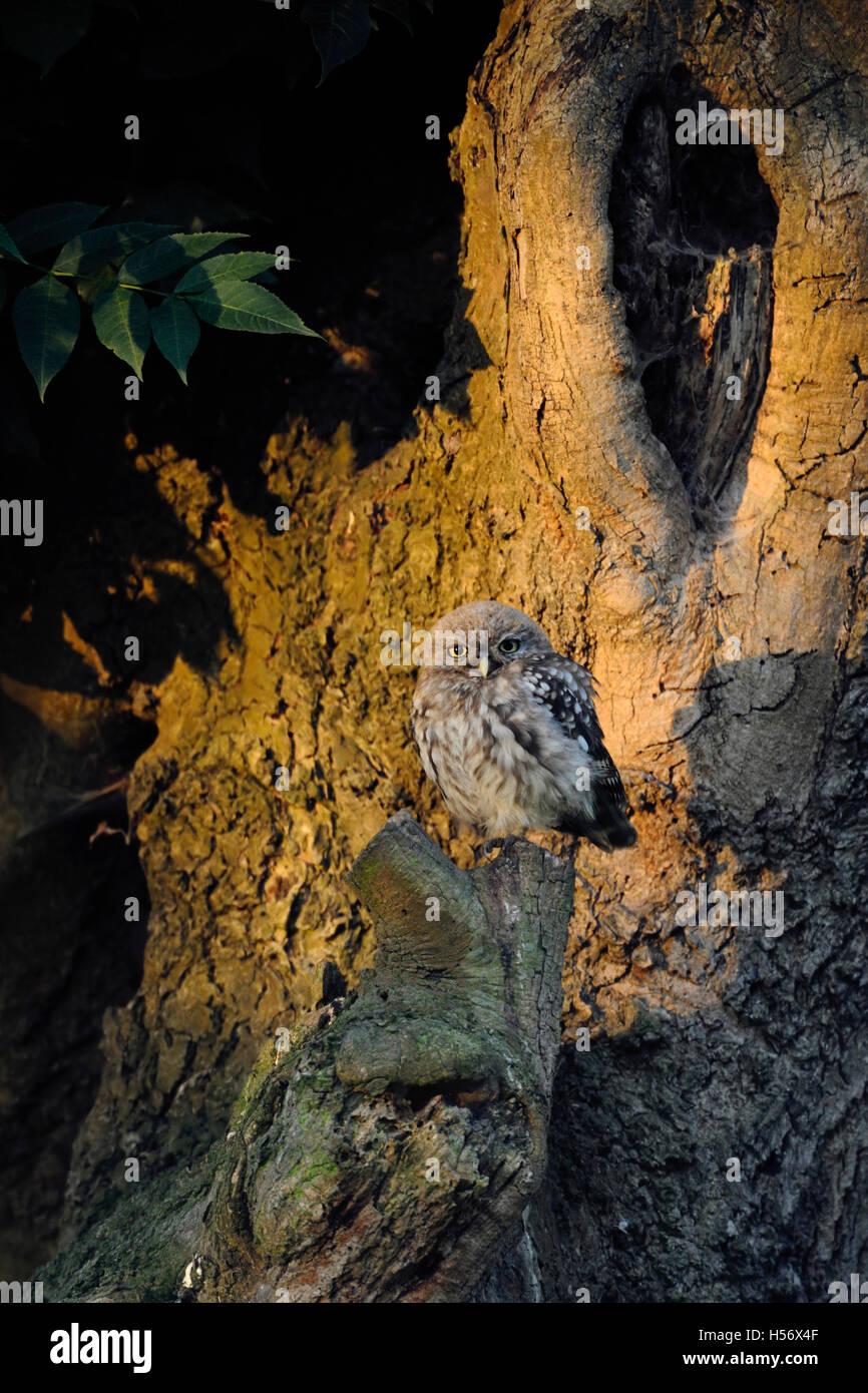 Petit hibou / Chouette Minervas ( Athene noctua ), assis sur son lieu préféré sur un vieil arbre, Photo Stock