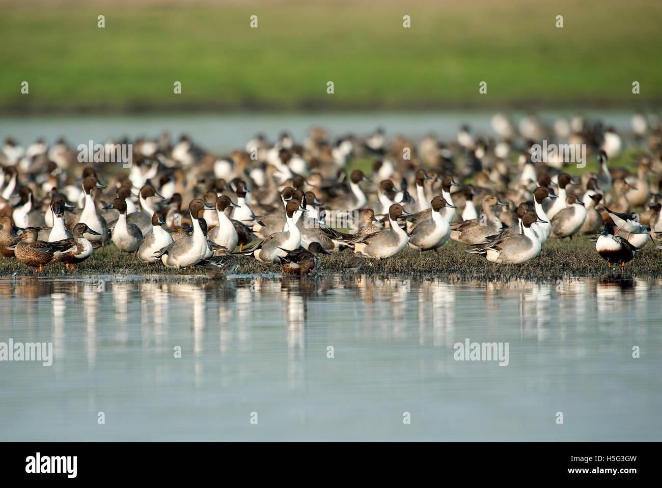 L'image de Canards pilets (Anas acuta) près de Pune, Maharashtra, Inde Banque D'Images