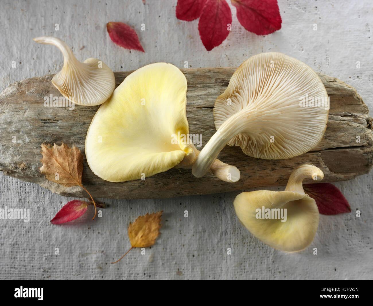 A jaune ou d'or comestible pleurotes (Pleurotus citrinopileatus) Photo Stock