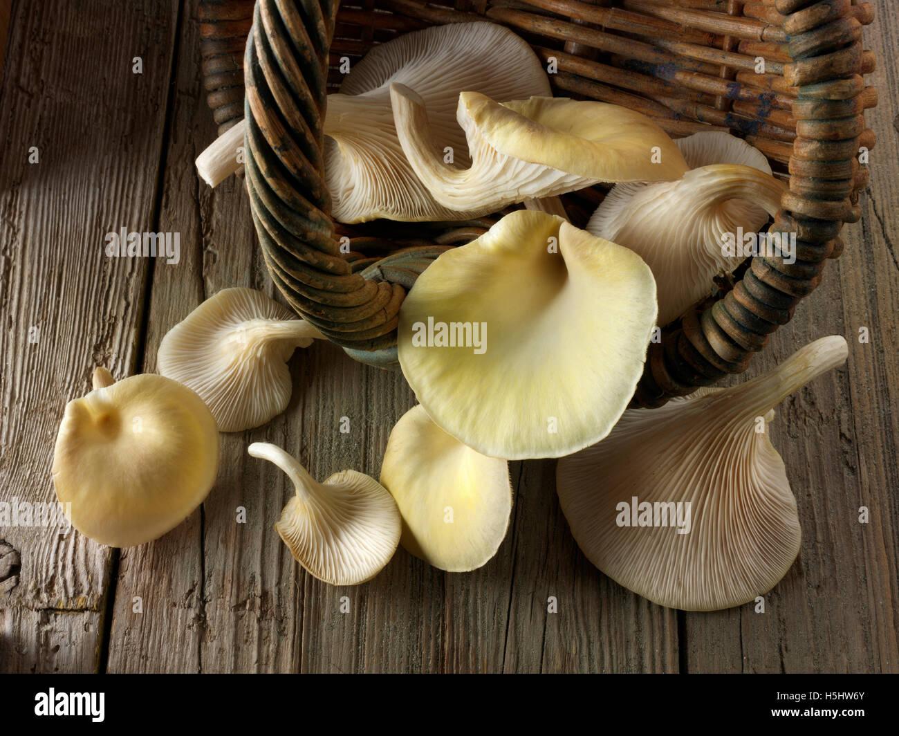 A panier de jaune ou d'or comestible pleurotes (Pleurotus citrinopileatus) Photo Stock