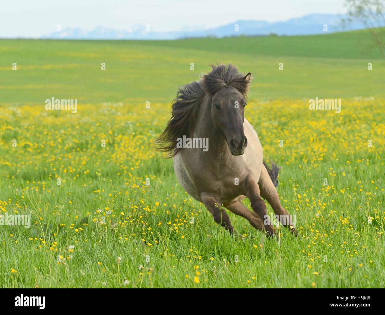 Cheval islandais dans le domaine Photo Stock