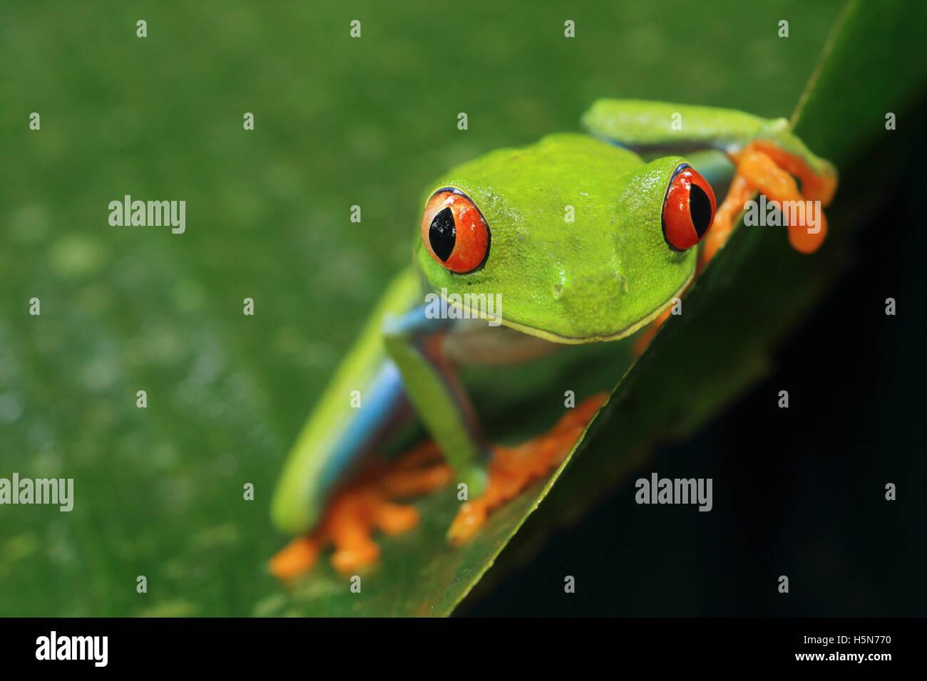 La Rainette aux yeux rouges (agalychnis callidryas) dans la forêt tropicale des Caraïbes. Parc National de Tortuguero, Costa Rica. Banque D'Images