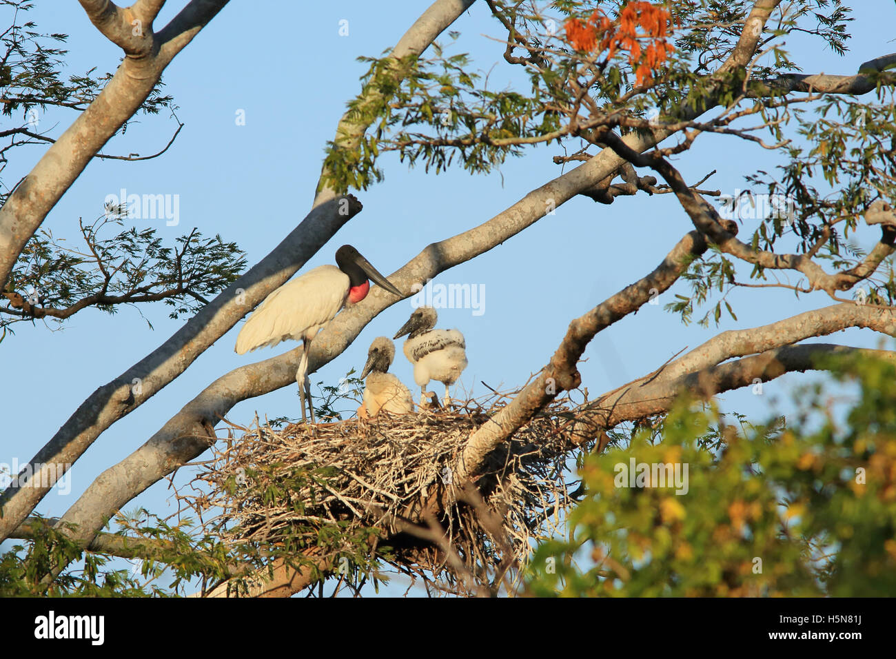 Jabiru mycteria Jabiru () et les petits au nid. La forêt sèche tropicale, Parc National Palo Verde, Guanacaste, Photo Stock