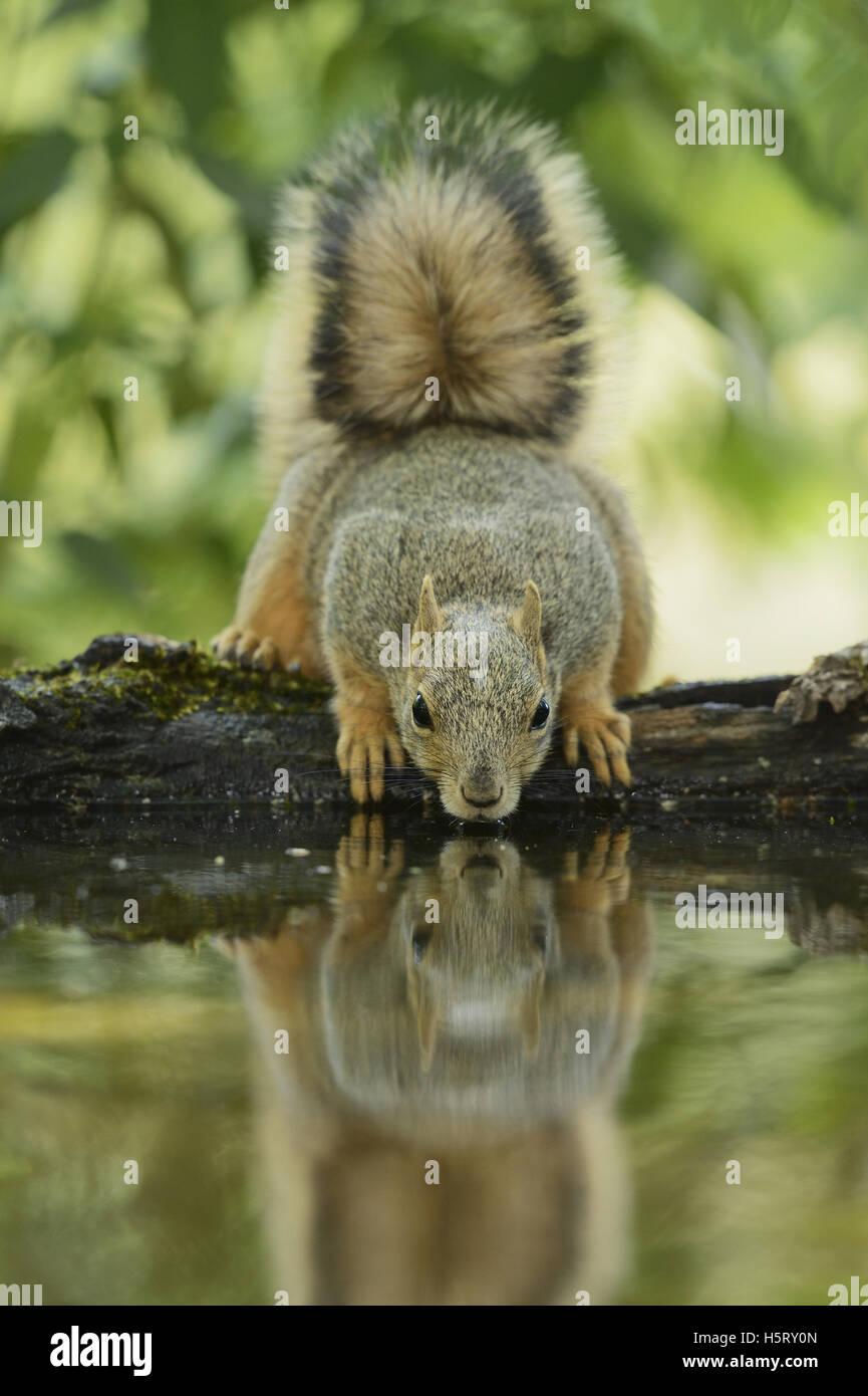 Fox est l'Écureuil roux (Sciurus niger), des profils de boire, Hill Country, Texas, États-Unis Photo Stock