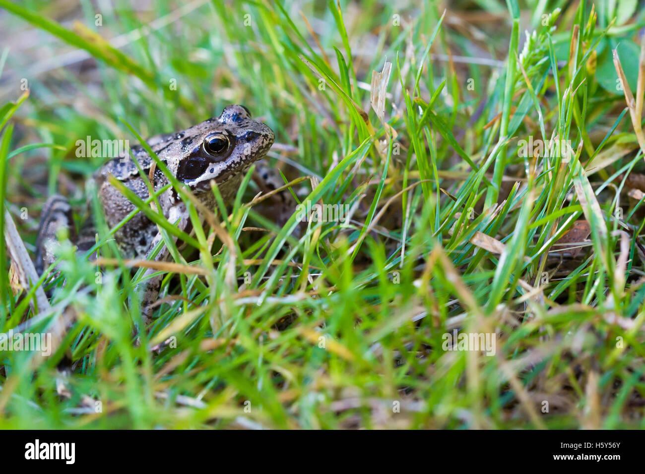 Brun et noir une grenouille dans un champ. Cet animal est l'une des espèces d'amphibiens qui sont des Photo Stock