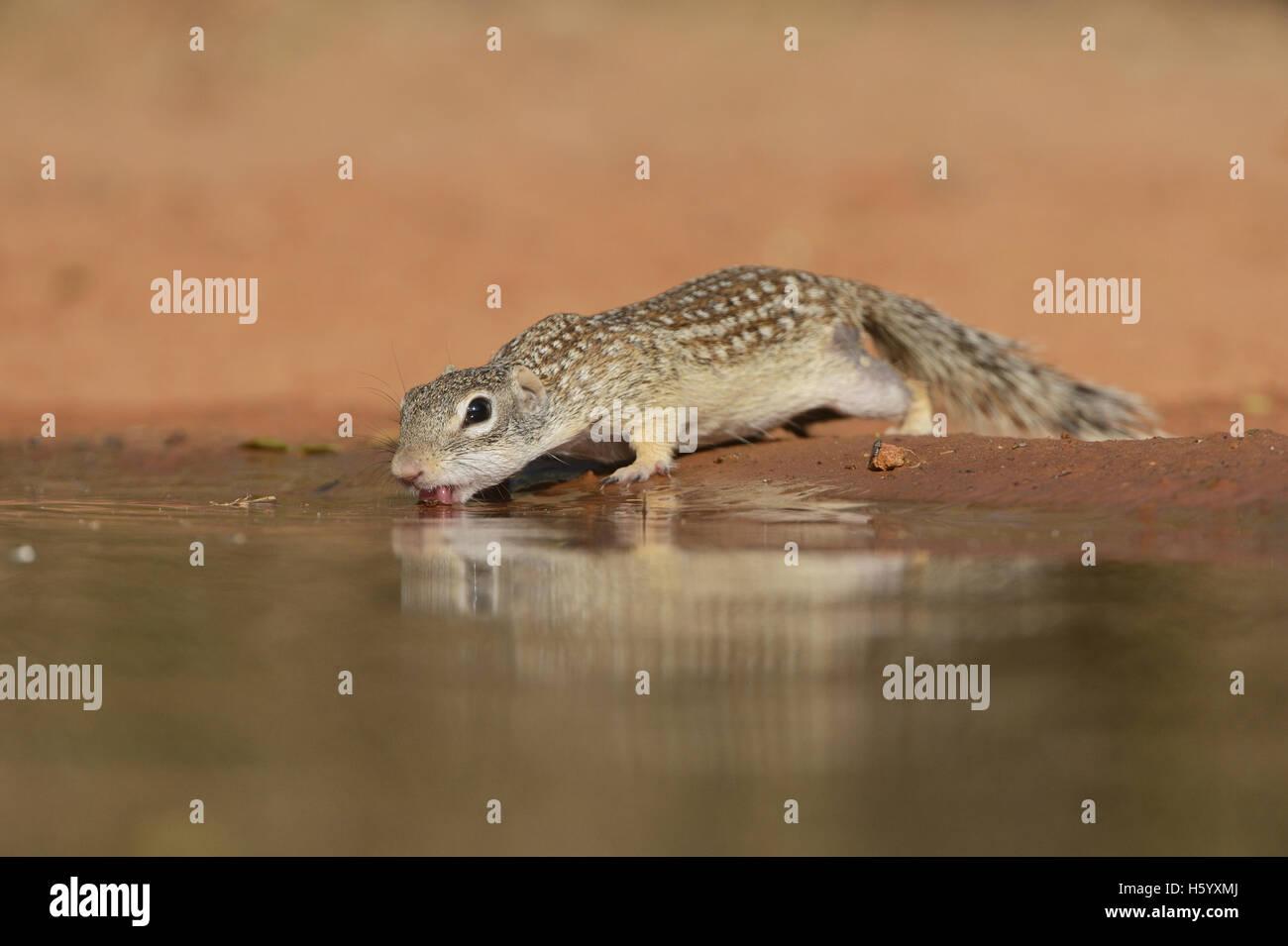 Mexican (Spermophilus mexicanus), des profils de boire à l'étang, Sud du Texas, USA Photo Stock