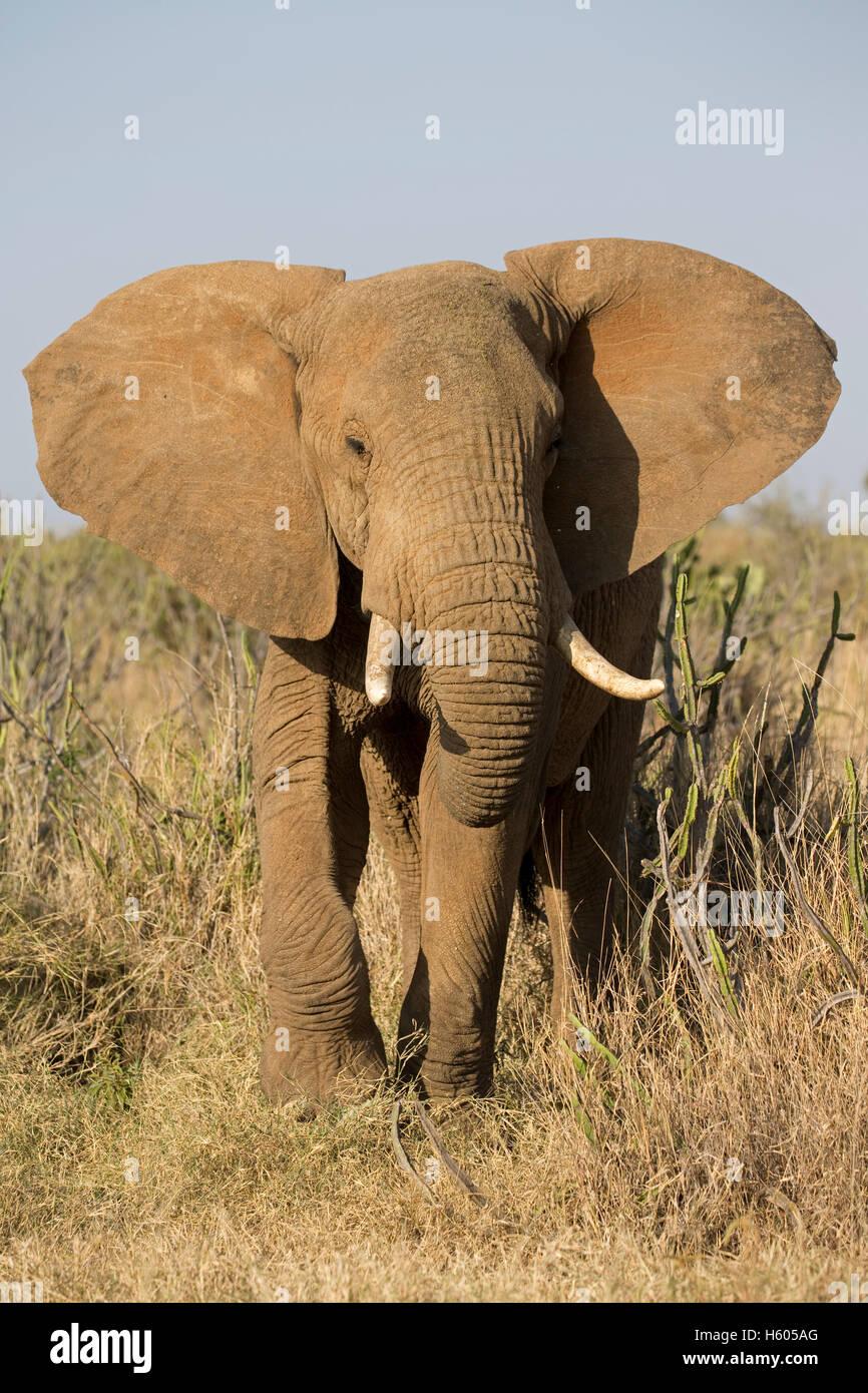 Menace de l'eléphant d'Afrique Loxodonta africana Kenya Laikipia désert Nanyuki Photo Stock