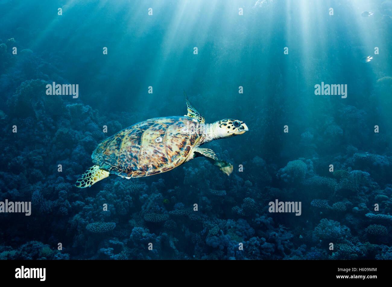 Tortue imbriquée (Eremochelys imbricata) avec des rayons de soleil. L'Egypte, Mer Rouge. Banque D'Images