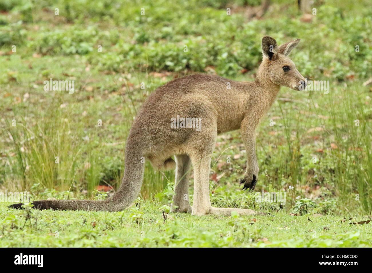 Un kangourou pour mineurs à la route. Photo Stock