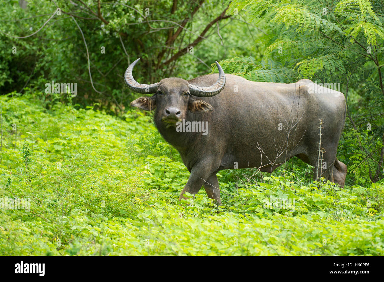 Wild Water buffalo, Bubalus bubalus, parc national de Yala, au Sri Lanka Photo Stock