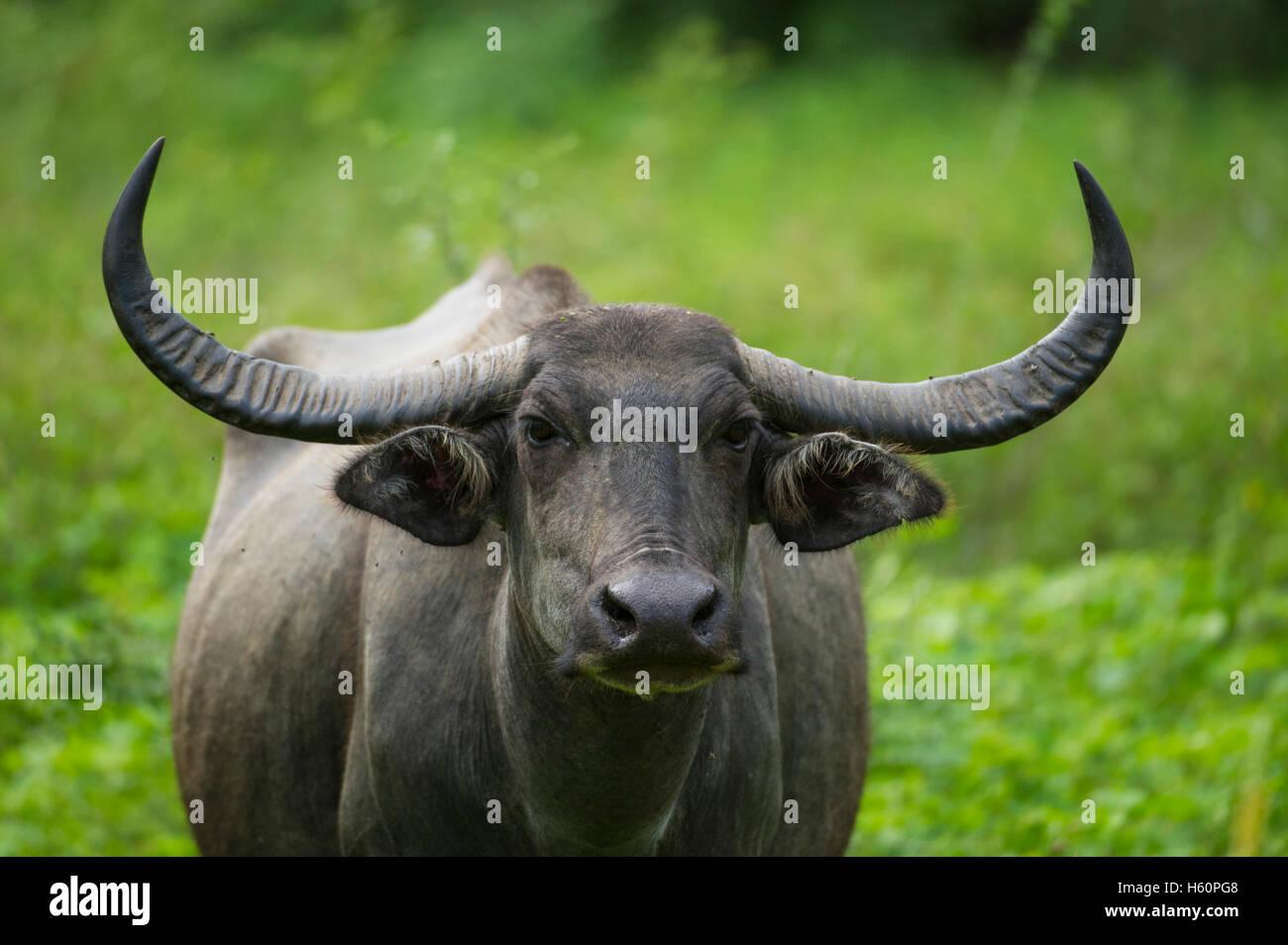 Wild Water buffalo, Bubalus bubalus, parc national de Yala, au Sri Lanka Photo Stock