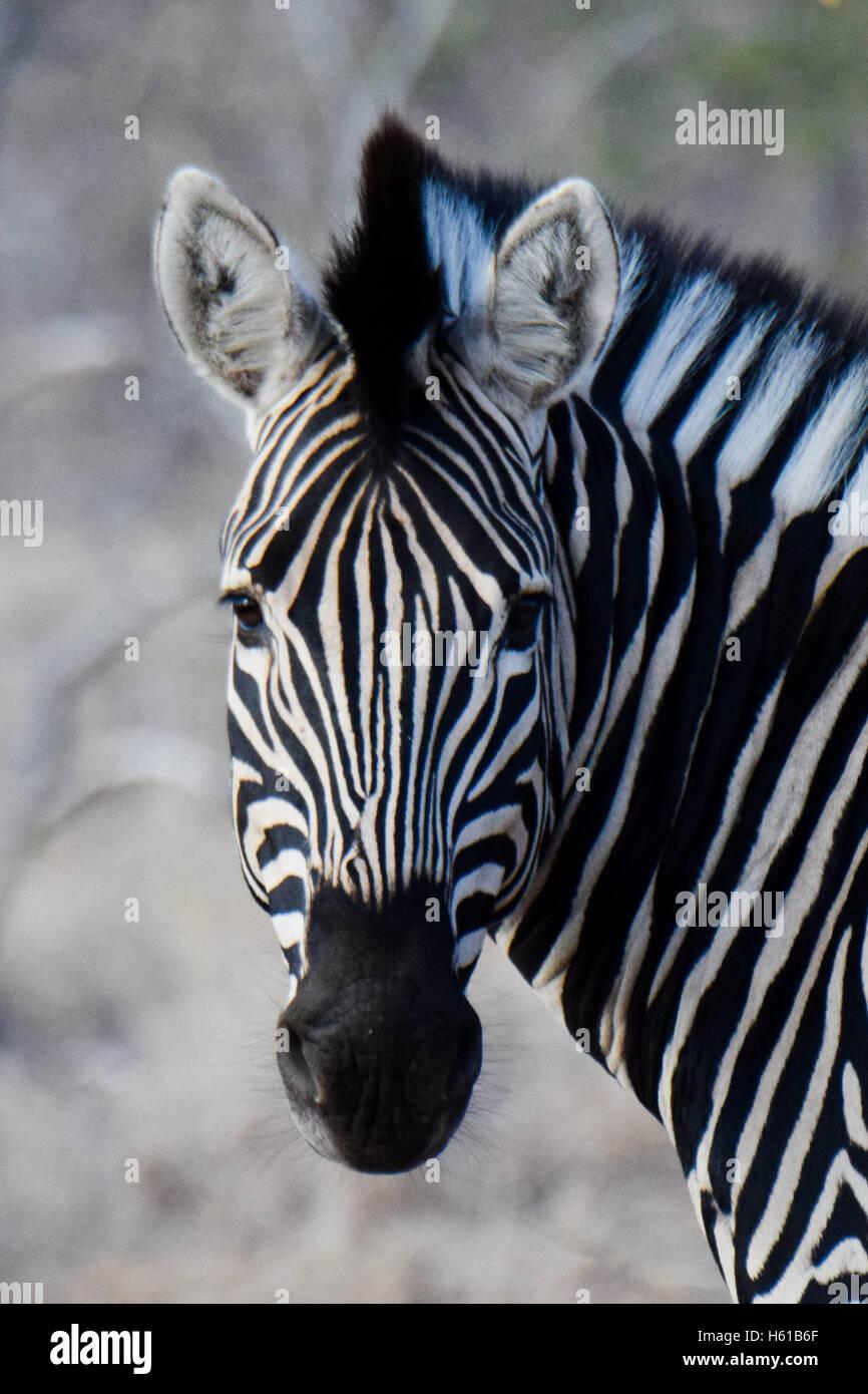 Headshot Zebra, Kruger National Park, Afrique du Sud Photo Stock