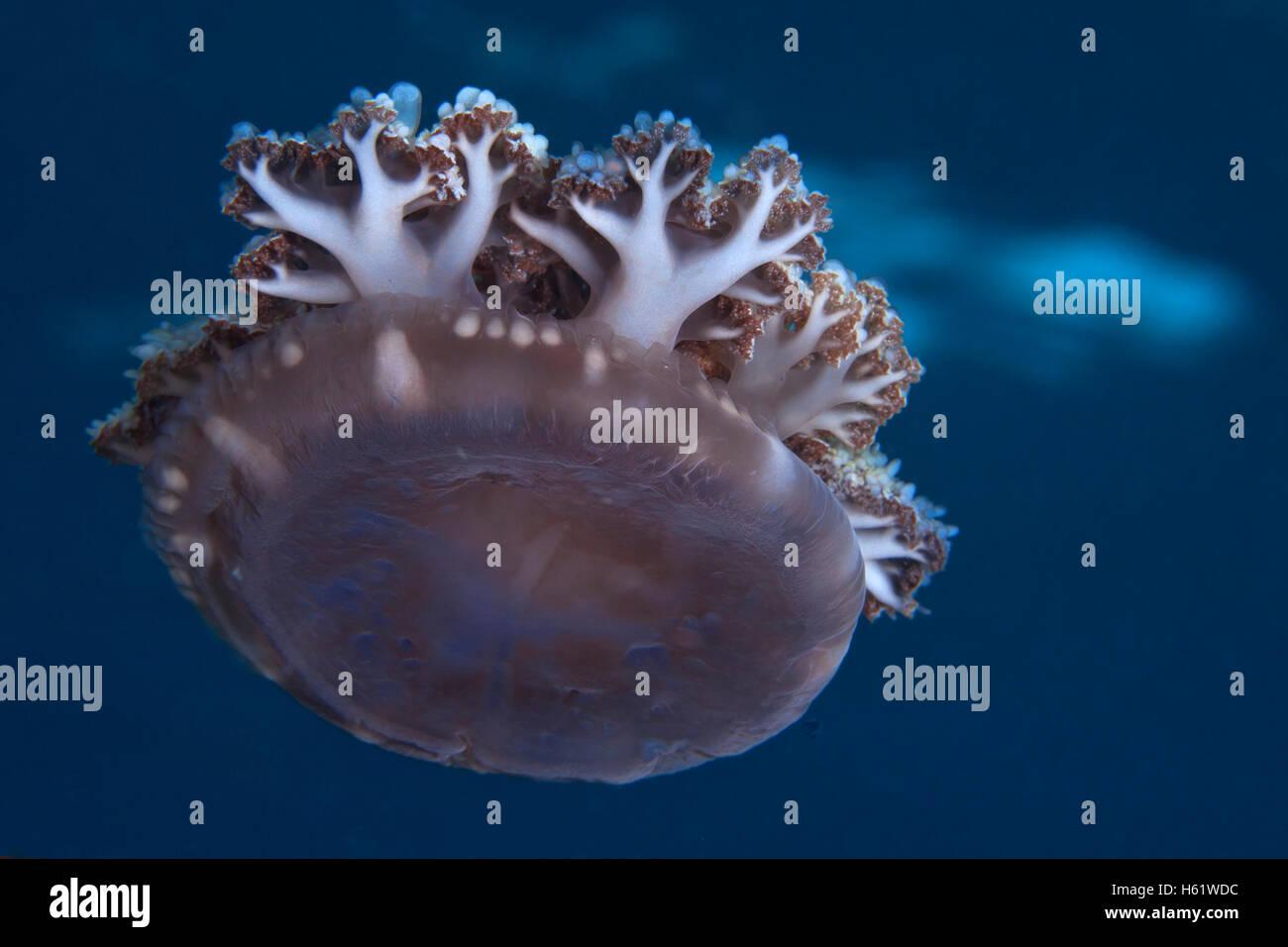 L'envers les méduses n'a pas de tentacules dérive avec les courants océaniques. Photo Stock