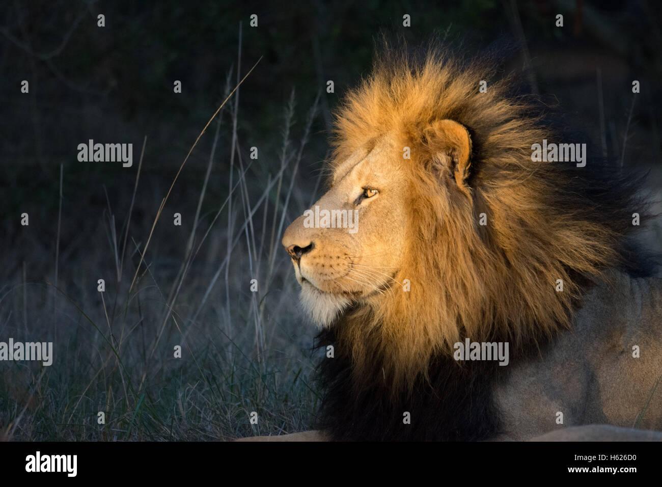 Lion reposant, appréciant le soleil couchant. Profil latéral Banque D'Images