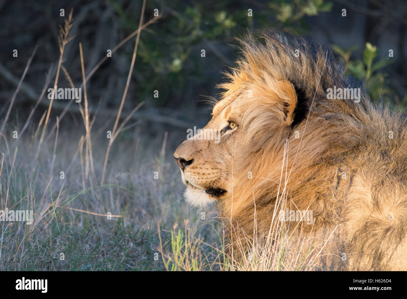 Lion reposant, appréciant le soleil couchant. Photo Stock
