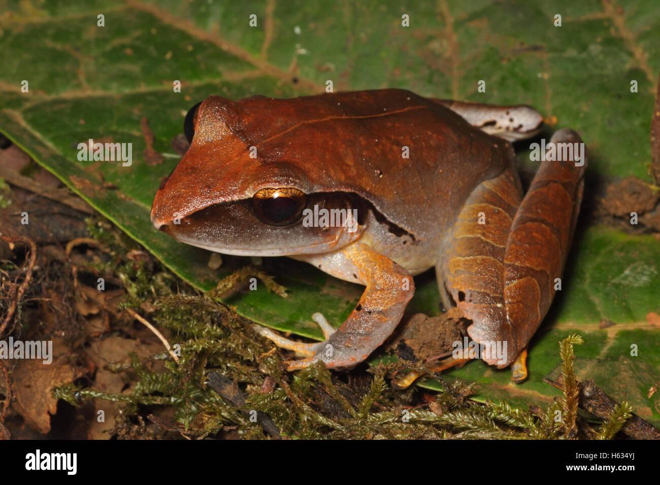 Imitant la pluie (Eleutherodactylus mimus) à la Station biologique de La Selva, pentes des Caraïbes, le Photo Stock