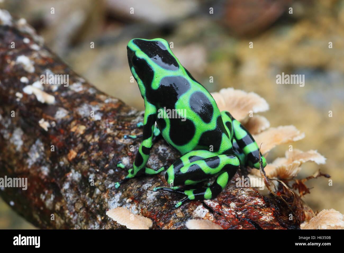Green and black poison dart frog (Dendrobates auratus) en montagne près de la forêt tropicale des Caraïbes Photo Stock