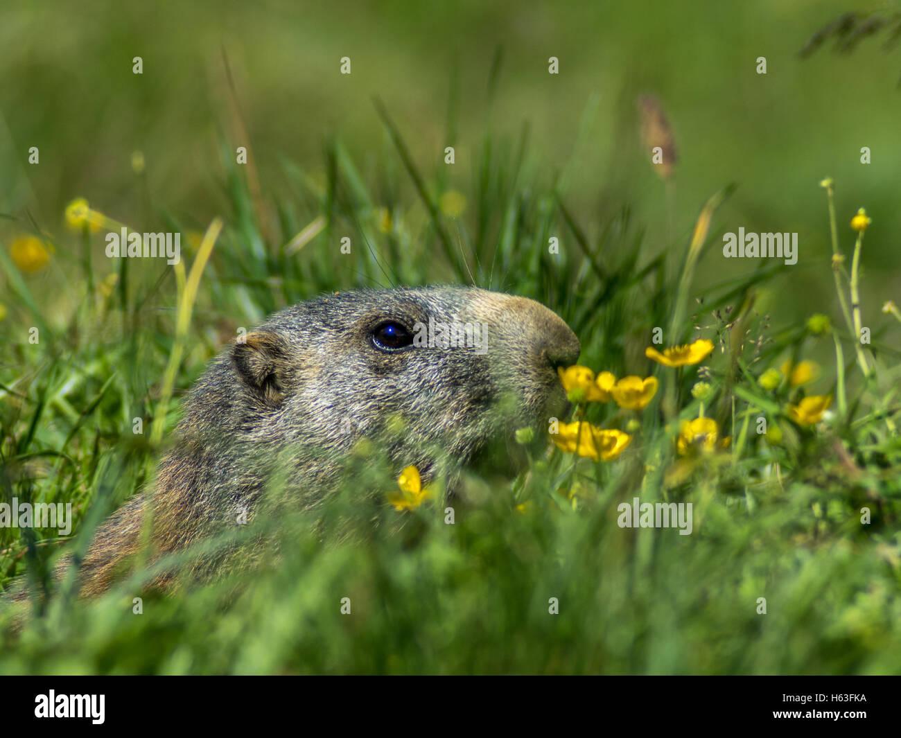 Marmot curieux à la recherche sur les Alpes en été - 2 Photo Stock