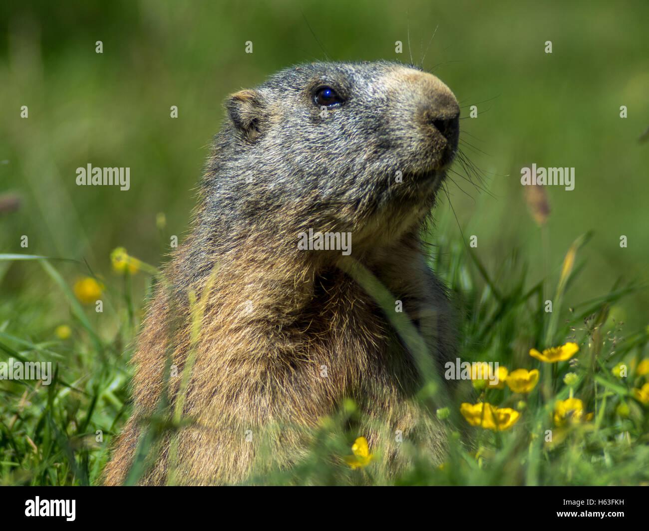 Marmot curieux à la recherche sur les Alpes en été - 1 Photo Stock