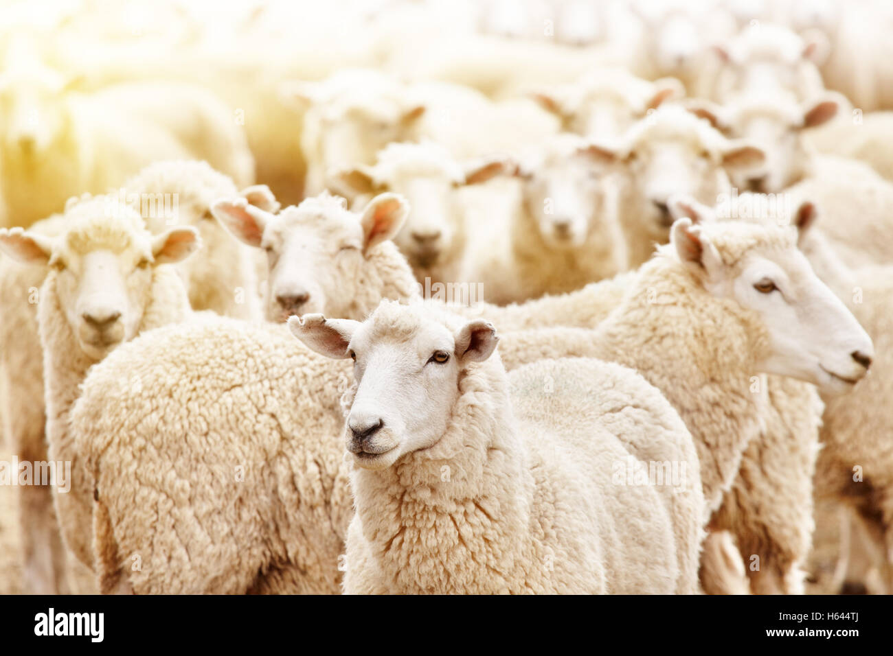 Ferme d'élevage, troupeau de moutons Photo Stock