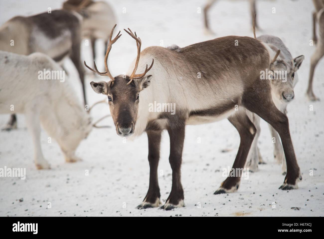 Groupe sur rennes dans les montagnes de Norvège Banque D'Images