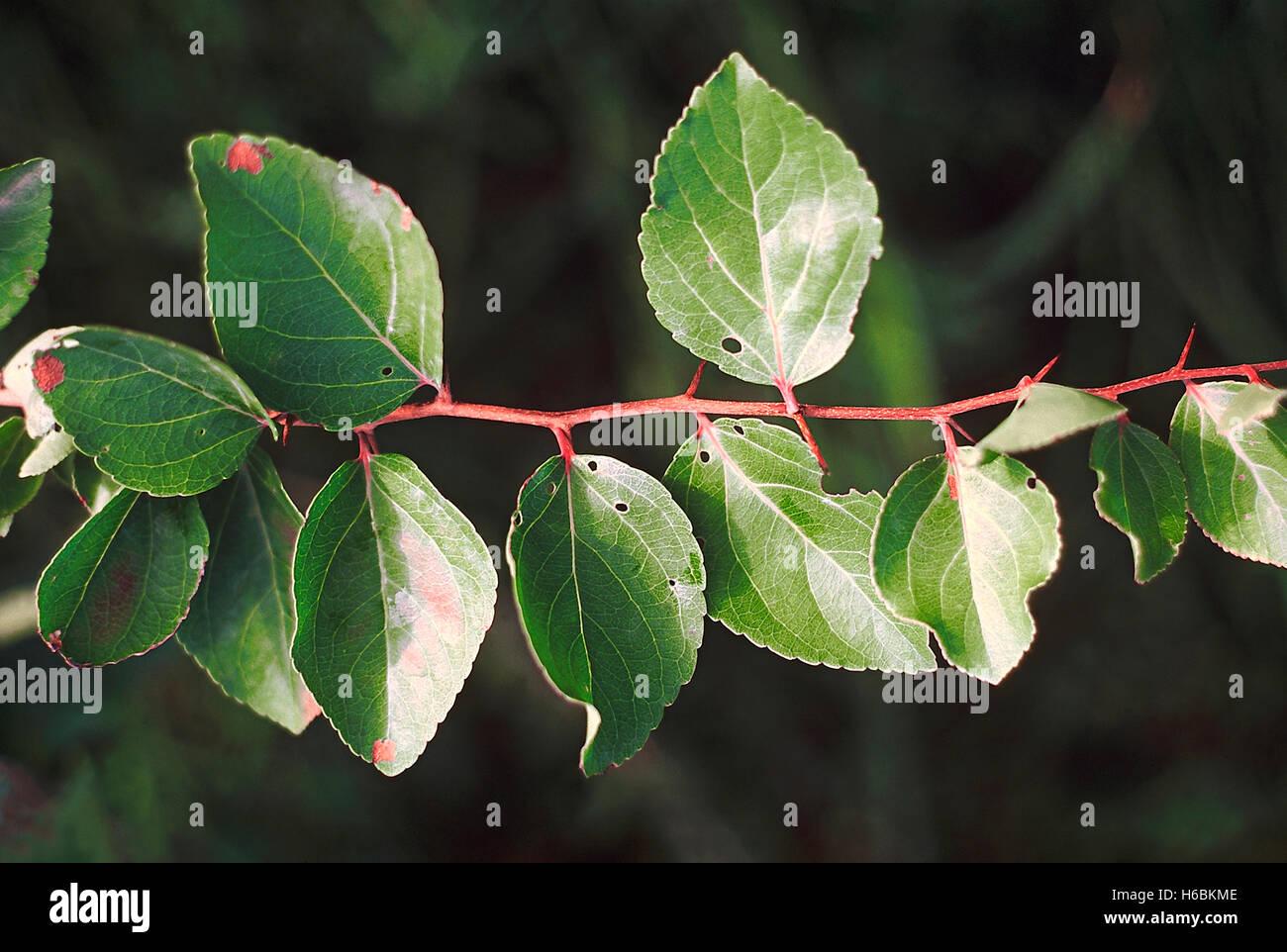 Flacourtia indica feuilles.. famille: flacourtiaceae. un petit arbre à feuilles caduques, épineux. Photo Stock