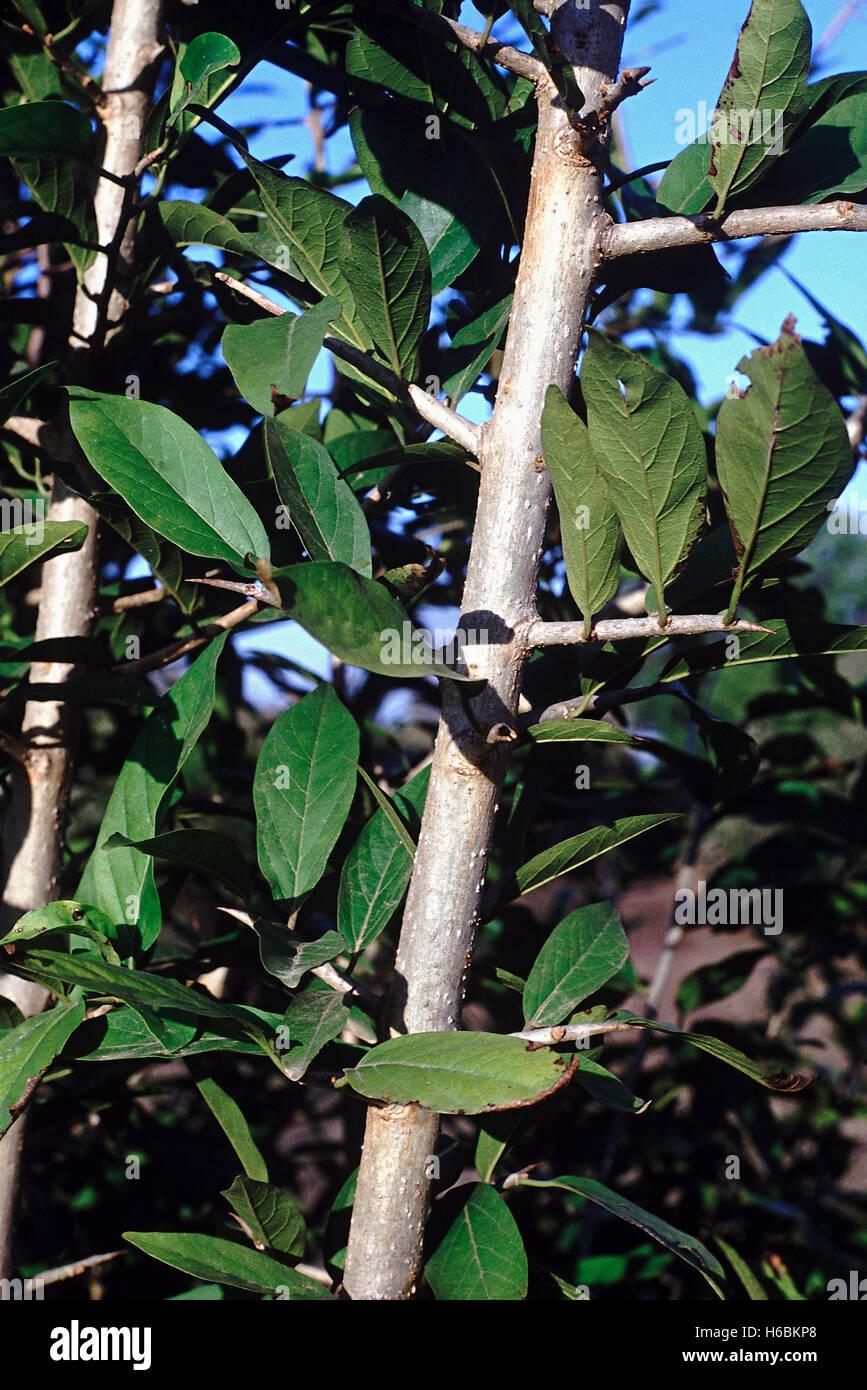 Près d'une succursale d'épines feuilles. alangium salvifolium. famille: alangiaceae. un Photo Stock