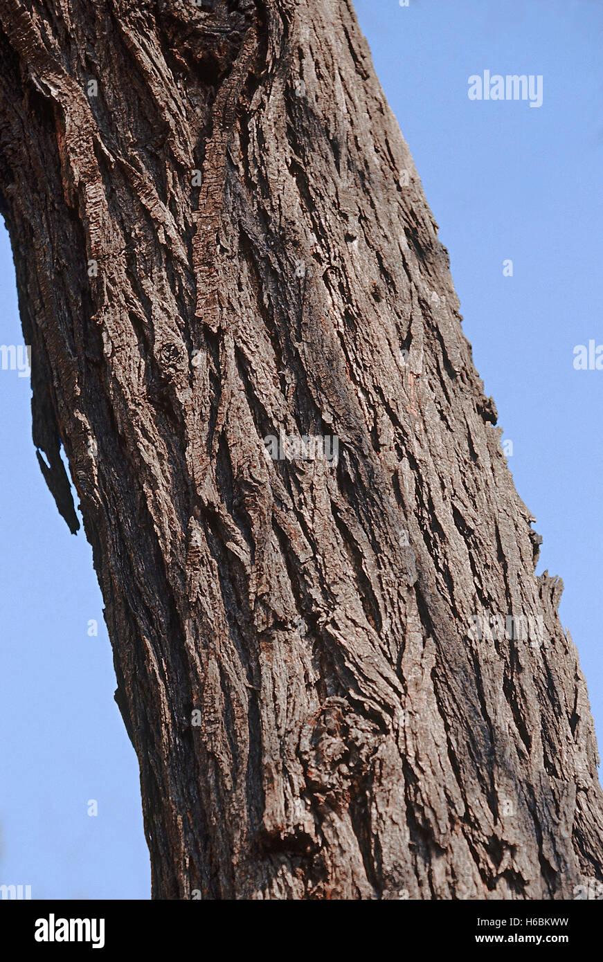 L'écorce. Acacia nilotica. babhul. famille: mimosaceae. un arbre épineux de taille moyenne dans Photo Stock