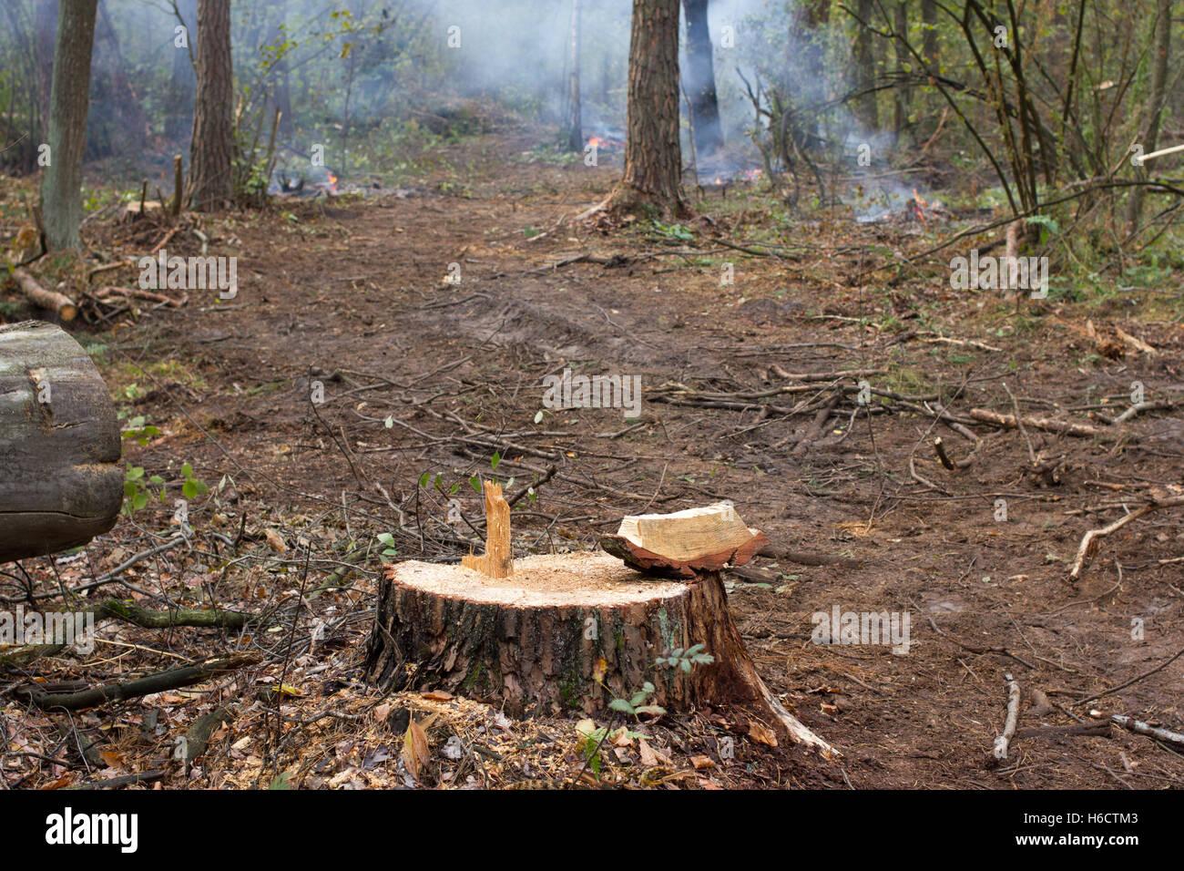 Souche de pin, résultat de l'abattage. Le déboisement des forêts coupées, Total Photo Stock