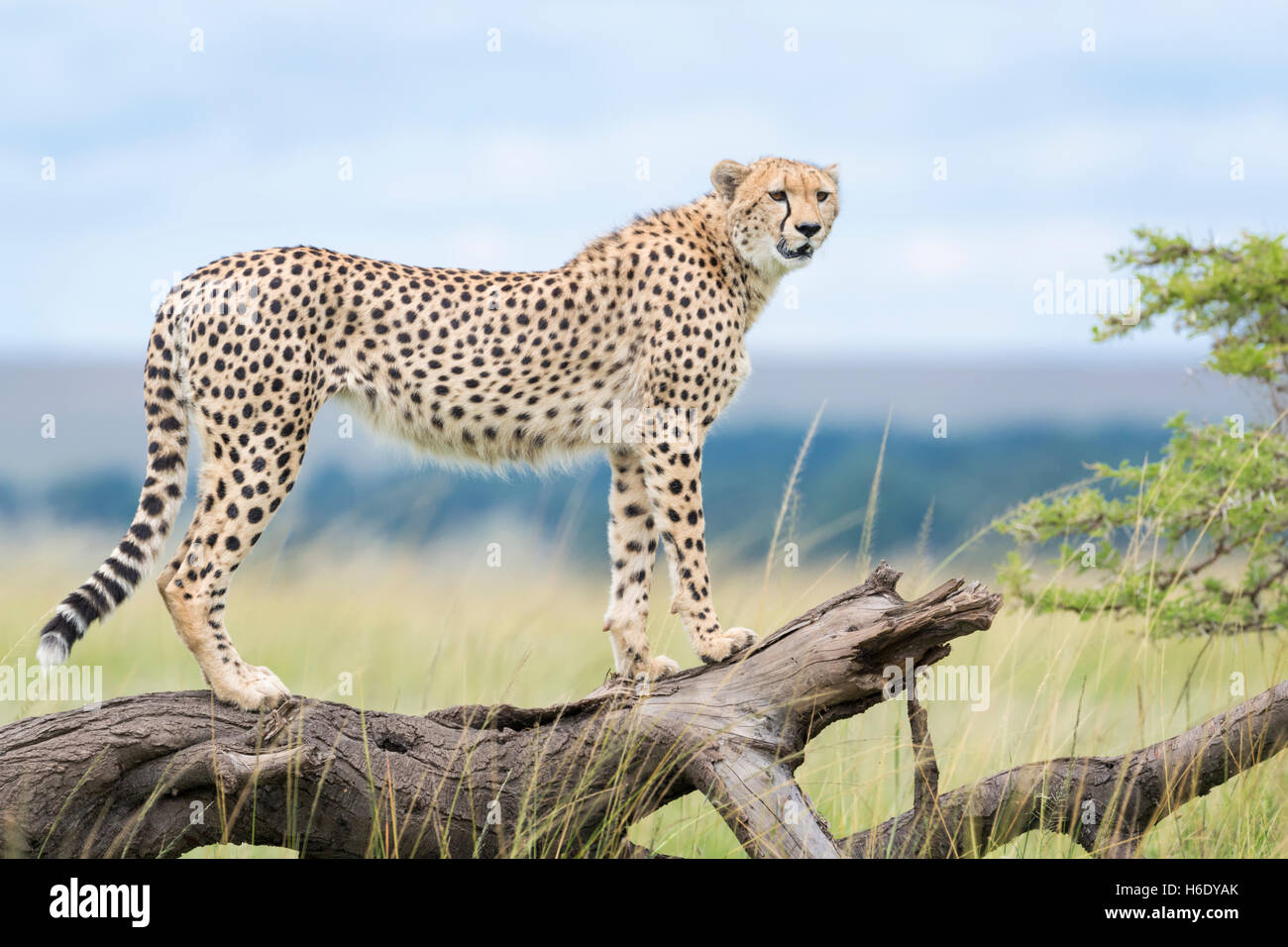 Cheetah (Acinonix jubatus) sur l'arbre tombé, Maasai Mara National Reserve, Kenya Photo Stock