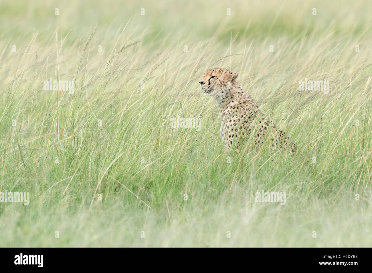 Cheetah (Acinonix jubatus) assis à se cacher dans l'herbe, à la recherche de proies, Maasai Mara National Photo Stock