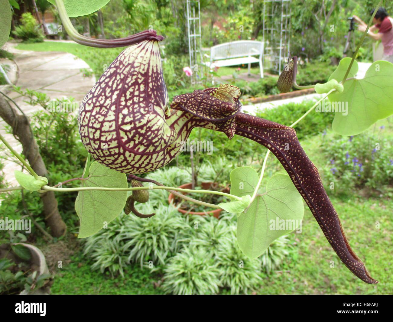 les plantes carnivores ou unique de la sarrac nie tropical dans un jardin de campagne highland. Black Bedroom Furniture Sets. Home Design Ideas