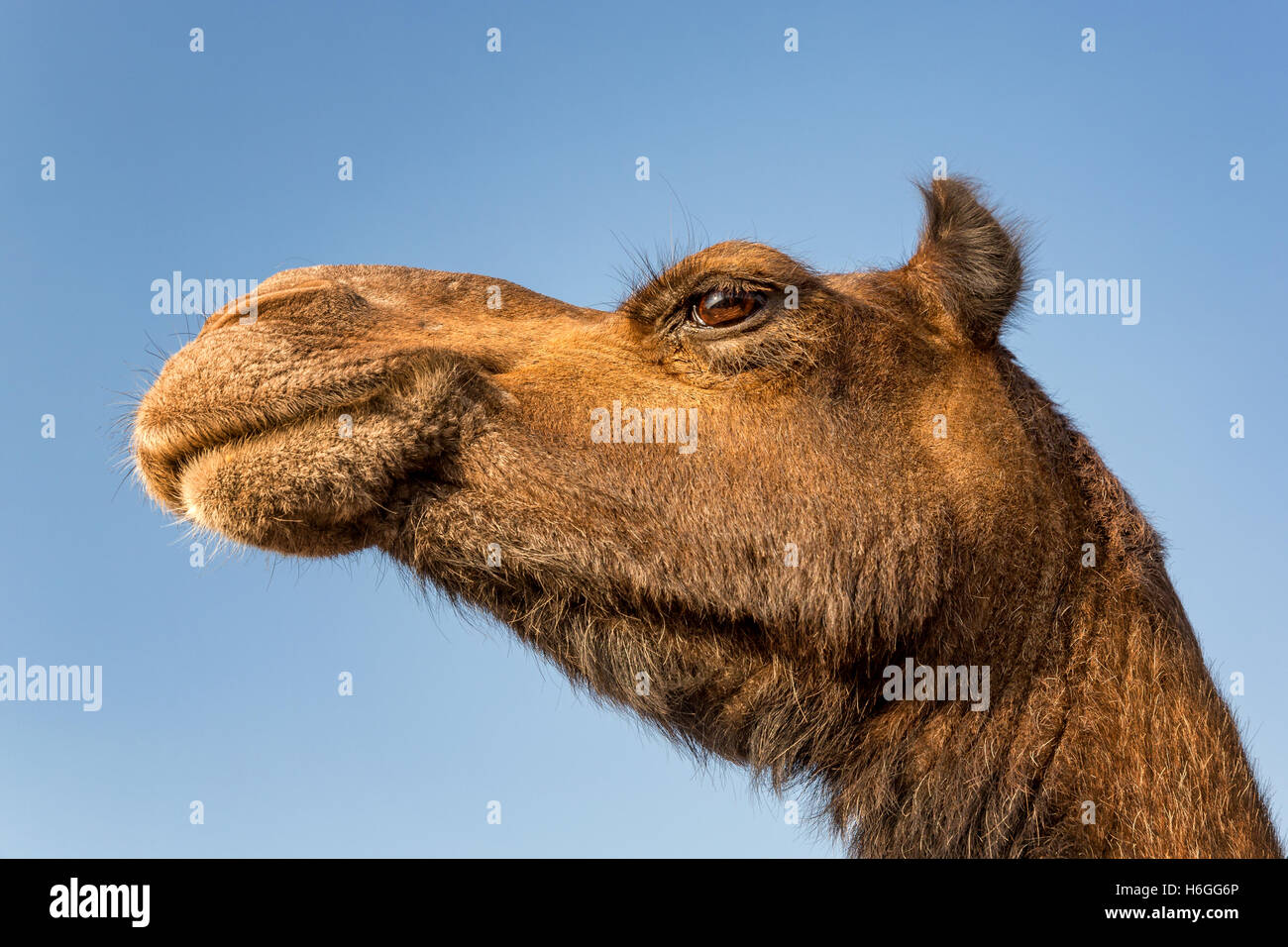 Close up d'un Chameau (Camelus), Inde Photo Stock