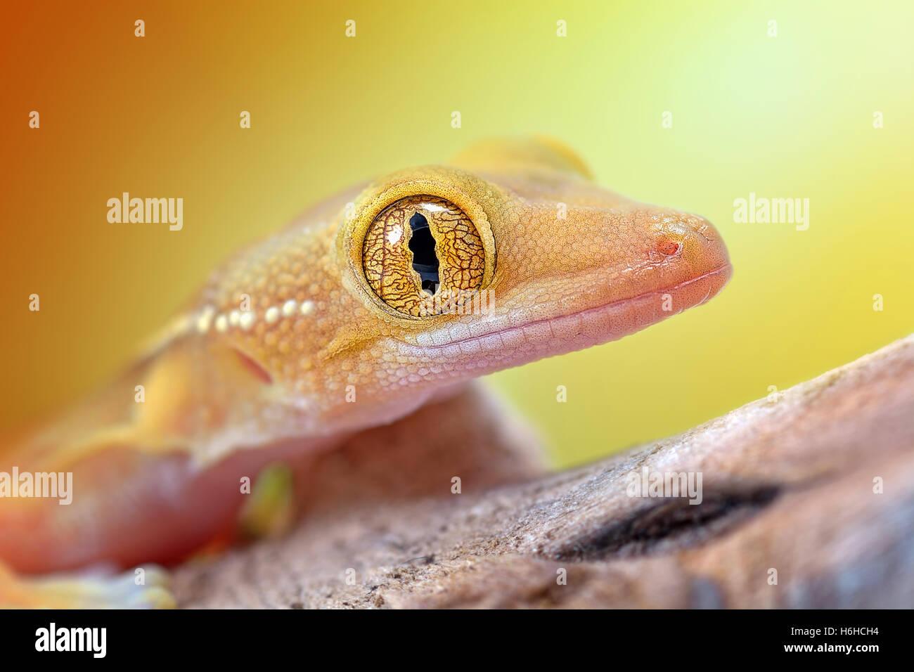 Amazing Gekko vittatus gecko macro Photo Stock